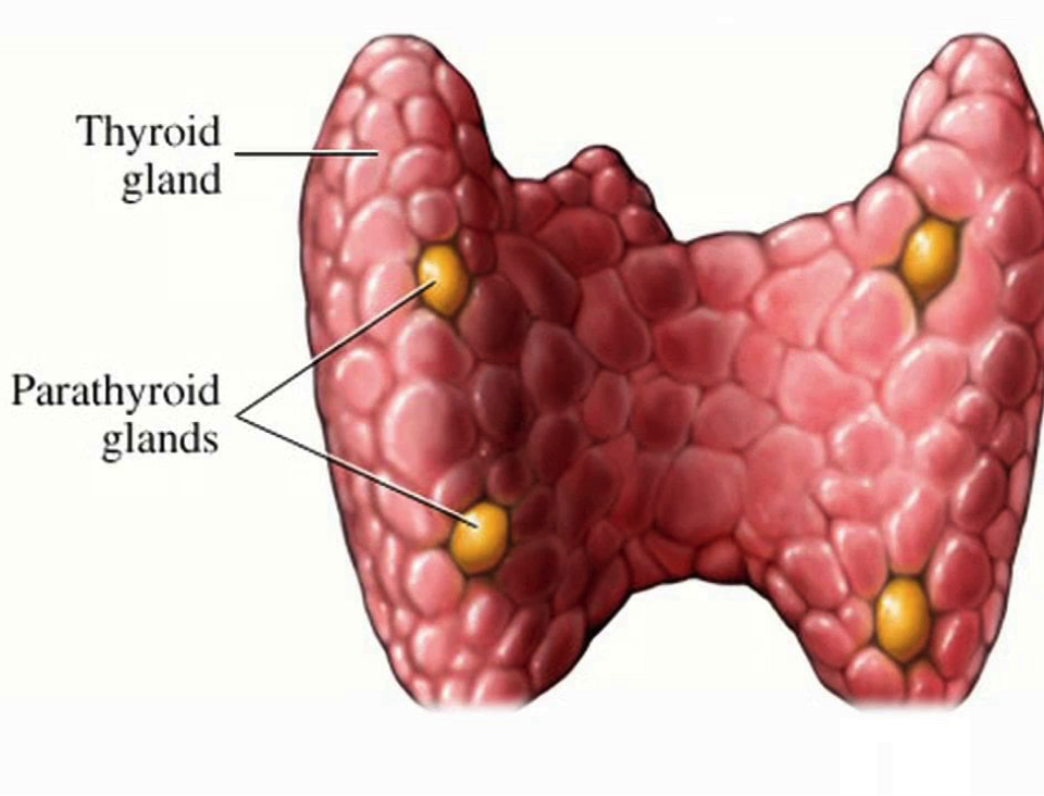 drc-parathyroid-glands