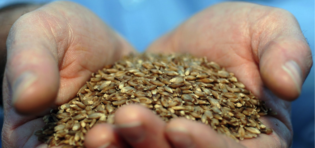 food-grains-in-hand
