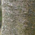 magnolia-bark