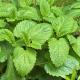 drc-herbs